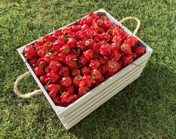 Jamaica Hot Red